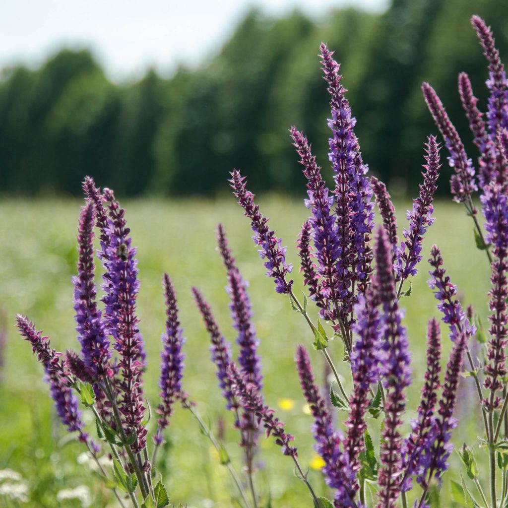 Flowering sage in a meadow. Summer day, Russia.
