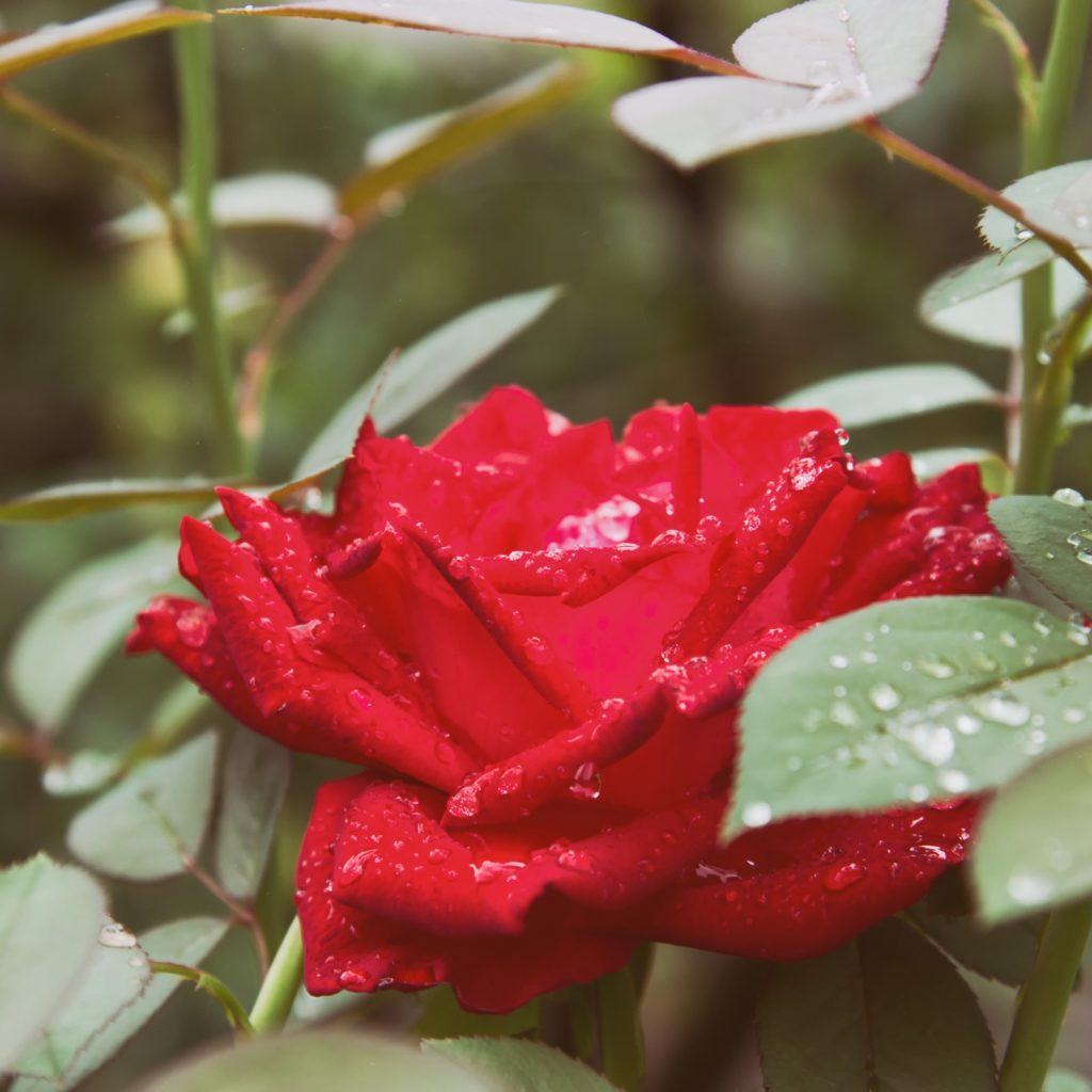 Red roses in the garden after the rain.