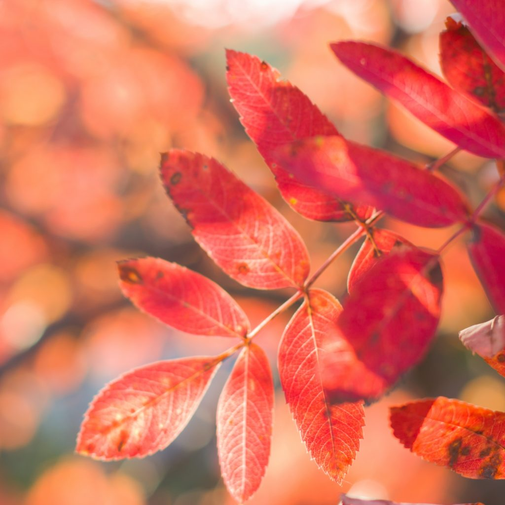 Red leaves of mountain ash in the autumn.